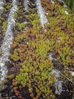toiture végétale naturelle où les sedums se sont installé de façon naturelle